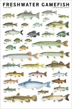 FRESHWATER FISH 53 Species Sportsfisherman Fly Fishing Wall Chart Poster