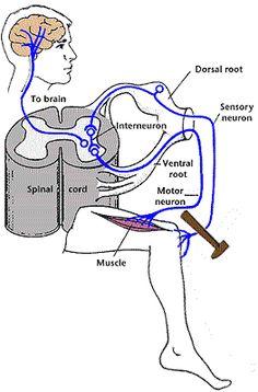 The Somatic and Autonomic Nervous Systems - Bethopedia