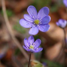 Achtung: Giftige Frühjahrsblüher! » Heimische-Wildpflanzen.de - Das Blog