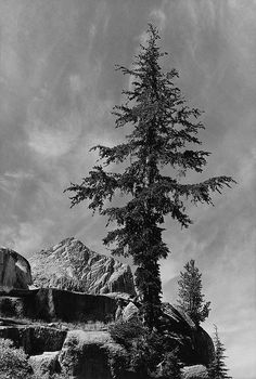 1931 Hemlock Tree near Benson Lake, Yosemite Nat. Park By Ansel Adams 84.90.709