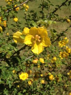 #LookAround! If you look around this time of year, you might see #Flannelbush (Fremontodendron californium), a large showy shrub. This shrub is popular for landscaping because it is #DroughtResistant and bears hundreds of #flowers.