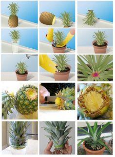 Plantio de abacaxi