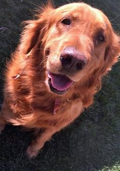 This is Ophelia - 7 yrs. She was an owner surrender due to a move. She is spayed, current on vaccinations, potty trained, good with dogs. She needs some training and is an energetic girl. Golden Retriever Club of Greater Los Angeles Rescue, CA. - http://www.grcglarescue.org/RP_AdoptMe.asp?aid=2161