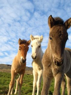 Three curious foals