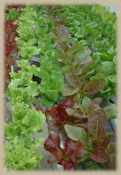 Indoor Hydroponic Vegetable gardens