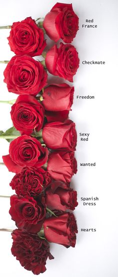 Red Rose Color Study  - Hearts, Spanish Dress, Wanted, Sexy Red, Freedom, Checkmate, Red France.  via Flirty Fleurs (US site)