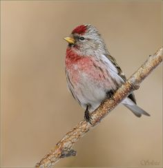 Common Redpoll - Sometimes I don't notice them because they blend in with House and Purple Finches.