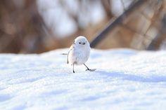 他の鳥が食べたものの小片が落ちているのを見つけて、雪の上に降りて歩くことも