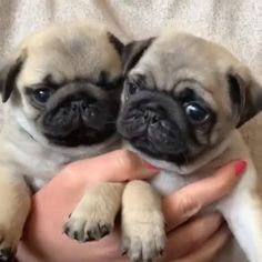 "Explore our web site for more details on ""pug dogs"". It is actually a superb location to find out more. Cute Pug Puppies, Dachshund Puppies, Baby Puppies, Pet Dogs, Dogs And Puppies, Terrier Puppies, Doggies, Boston Terrier, Pets"