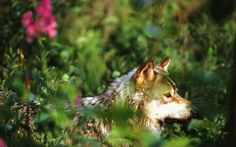Gray Wolfs have come close to extinction in the last 2 decades they have increased to around 1,500 in the Northern Rockies.  Danger that are causing their decline are humans!