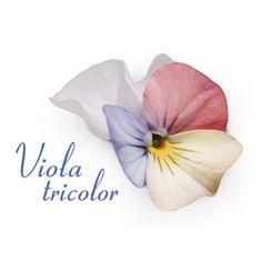 Viola Tricolor Sumire Nukina
