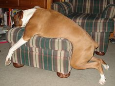 No house is complete without an attractive Boxer pillow casually strewn across the furniture.