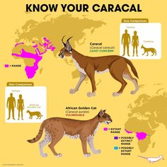 Know Your Caracal African Cats, African Animals, Fun Facts About Animals, Animal Facts, Cat Species, Animal Species, Animals Information, Animal Science, Mundo Animal