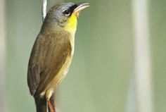 Grey-crowned yellowthroat warbler - South Texas  Birds - Santa Ana - U.S. Fish and Wildlife Service