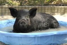 Honey, a two-year-old American Guinea hog cools off at the Brookfield Zoo in Brookfield, Ill., on June 28.