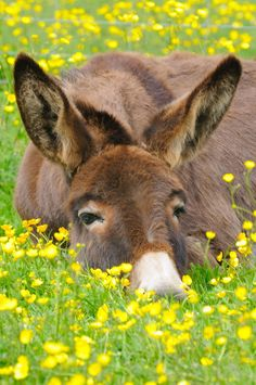 Donkey dozing in a bed of buttercups.