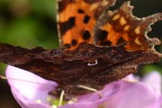 Comma Butterfly that I found in my garden and managed to get a few shots of...