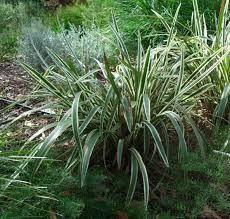 Image result for variegated dianella grass