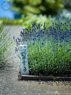 Lavender for the bees.  Bees love lavender and you can pick all you want without fear of a sting.  The are soothed.