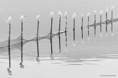 Garzette by Leonardo Martino on 500px