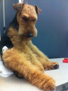 Welsh Terrier - love it when they sit like this!  Those looooong legs!