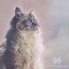 """""""Alice, qui est un chat Siberien Lynx Point, est assise à la fenêtre surveillant la dernière neige se transformant en tempête à Toronto.Elle est captivée par les larges flocons de neige qui tombent au sol."""" source: http://ift.tt/1d6KOUD ]"""