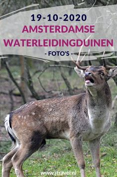 Ik maakte een wandeling in de Amsterdamse Waterleidingduinen. Dit keer zag ik veel burlende damherten en paddenstoelen. Mijn foto's zie je hier. Kijk je mee? #awd #paddenstoelen #damhert #wandelen #hiken #natuur #jtravel #jtravelblog #fotos