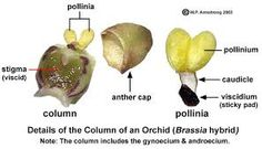 diagram of an orchid flower - Google Search Sticky Pads, Orchids, Nature Study, Fruit, Google Search, Ethnic Recipes, Flowers, Diagram, Cap