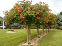Photo of Trumpet Vine grown as a tree. A 6x6 post cemented in the ground to support it, keep them at about 6ft. high. In the fall  cut the side branching arms to about 12 inches. the main trunks are kept intact.