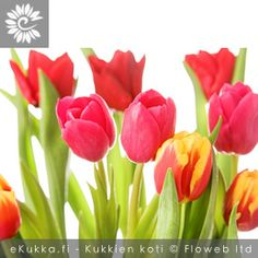Tulppaani (Tarhatulppaani), Tulipa gesneriana Rose, Flowers, Plants, Pink, Plant, Roses, Royal Icing Flowers, Flower, Florals