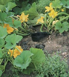 Although summer squash is a naturally vigorous grower, it benefits from regular care. Sunken pots make it easy to water, and a cover crop of hairy vetch helps suppress weeds.Click To Enlarge