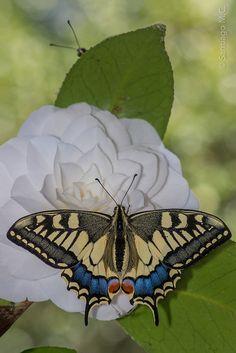 Beautiful Swallowtail Butterfly