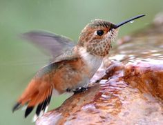 Hummingbird Fountain Will Attract Hummers With Water Need a Hummingbird Fountain? Attract Hummers With Water!Need a Hummingbird Fountain? Attract Hummers With Water! Humming Bird Bath, Hummingbird Bird Bath, Hummingbird Flowers, Humming Bird Feeders, Humming Birds, Hummingbird Habitat, Hummingbird Photos, Hummingbird Tattoo, How To Attract Hummingbirds