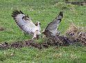 Video vroege vogels : http://vroegevogels.vara.nl/Video.742.0.html?&tx_ttnews[tt_news]=374513&cHash=47e5b33a4972348eceda1514f554ea11