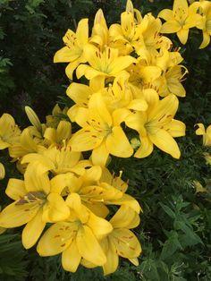 #желтый #lily #лилия #yellow