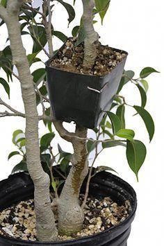 The Slanting Style in Bonsai - Gardening Site Bonsai Ficus, Wisteria Bonsai, Jade Bonsai, Indoor Bonsai Tree, Mini Bonsai, Bonsai Plants, Bonsai Garden, Bonsai Trees, Succulents Garden