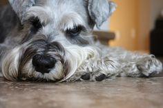 シュナウザー, 犬, 家畜化された, 肖像画, クローズ アップ, 顔, 毛皮, 愛らしい, 休憩, ペット