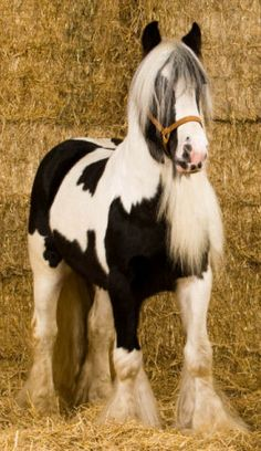 Posing in the Barn - Horse - Irish Cob
