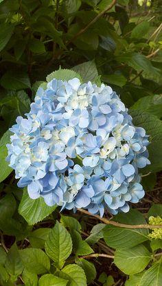 Hydrangea----pink & blue  .....just like my Grandmother Della Savannah's