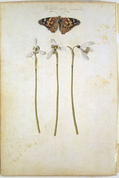 A Common Mallow and a Damselfly; Snowdrops with a Lady Butterfly  Object: Watercolour  Place of origin: France  Date: ca. 1575 (painted)  Artist/Maker: Le Moyne de Morgues, Jacques, born 1533 - died 1588 (painter)  Materials and Techniques: watercolour and bodycolour on paper  Museum number: AM.3267H-1856