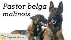 Pastor belga malinois - Características y adiestramiento