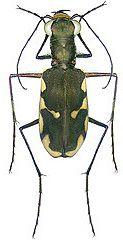 Carabidae Calomera durvillei (Dejean, 1831) (Indonesia)