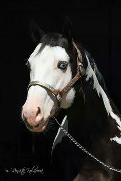 #horses #paint #animals #photography