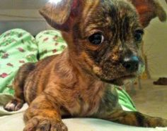 Abril - brindle baby! is an adoptable Chihuahua Dog in Atlanta, GA. Most people go home from a county fair with a cheap stuffed toy and a cotton candy bellyache, not a tiny, rare brindle-coated chihua...