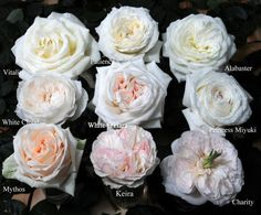 """White and pink garden roses can be in place of peonies. Like peonies, garden roses are available in a variety of pastel and coral hues. They also have """"almost identical petals that mirror the peony's iconic 'powder-puff' petal,"""" says Eric Buterbaugh, celebrity florist and Chief Floral Designer of The Bouqs. The likeness is especially evident in old-fashioned English roses when they are in bloom."""