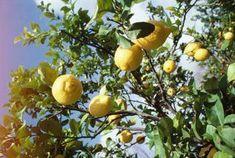 Homemade Lemon Tree Fungal & Pest Spray