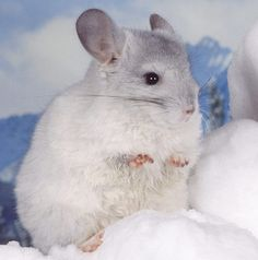 baby chinchilla | Tumblr