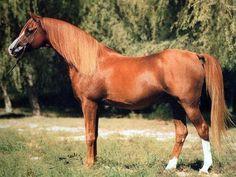*Aboud (Diamond Star x Azeme Bint Gleam) 1982 Chestnut Stallion Historical Arabian Stallion Photo Gallery