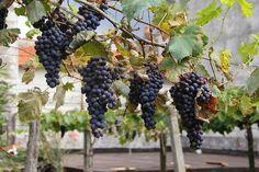 Truco: aprende a congelar uvas.   Recetas de Cocina Casera - Recetas fáciles y sencillas  http://www.pinterest.com/edmundojoseagu/recetas-de-cocina/