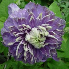 Clematis Blue Light with double FIVE INCH flowers, zones 4-11.